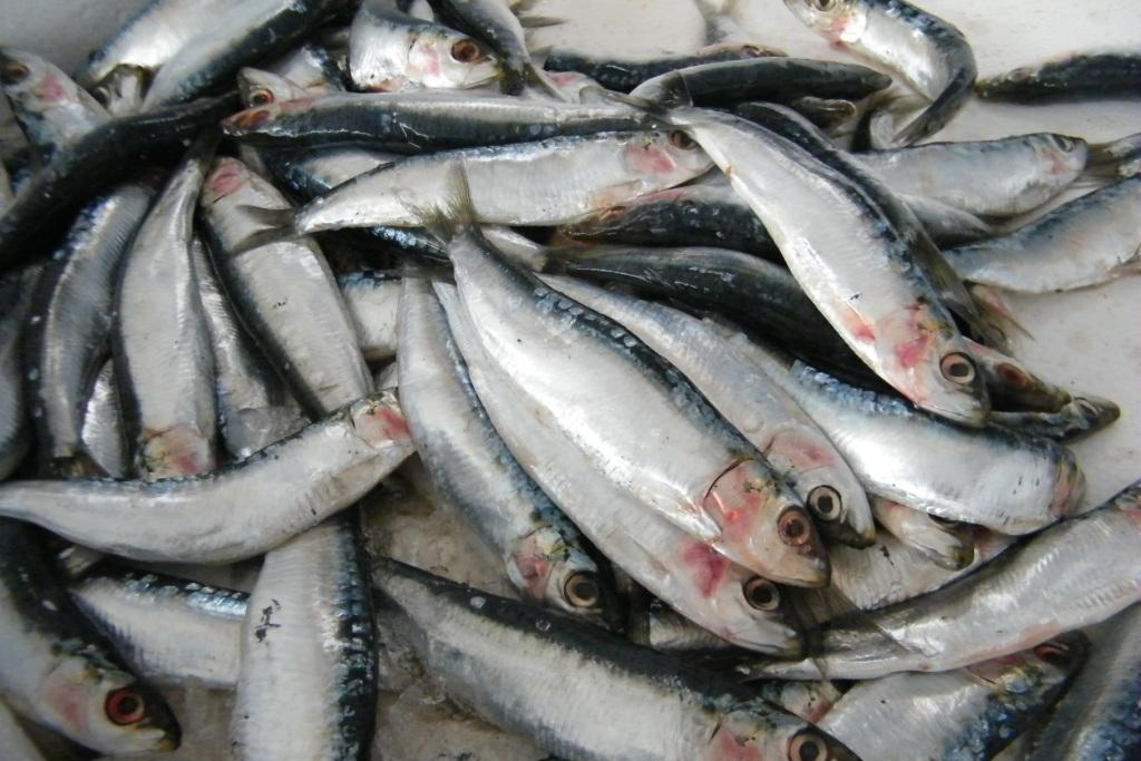 De la sardine frache